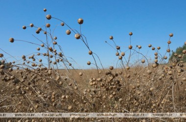 Фото: Flax harvesting reaches final phase in Belarus